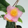 椿(つばき・ツバキ)苗木販売店「花育通販」炉開きの苗を販売