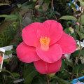 椿(つばき)の販売店【花育通販】紅あかりの苗を販売