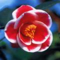 椿(つばき)の販売店【花育通販】玉のかんざしの苗を販売