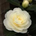椿(つばき)の販売店【花育通販】ダローネガの苗を販売