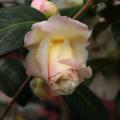 椿(つばき)の販売店【花育通販】新世紀の苗を販売