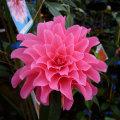 椿(つばき)の販売店【花育通販】ピンクダリアの苗を販売
