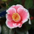 椿(つばき)の販売店【花育通販】花明りの苗を販売