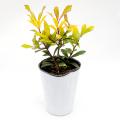 【花育通販】セイヨウヒイラギ「サニーフォスター」の苗木を販売