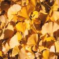 花木・庭木の販売店【花育通販】銀杏(イチョウ)の苗木を販売