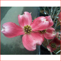 春の花木・庭木販売店【花育通販】花水木(ハナミズキ・はなみずき)を販売
