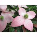 春の花木・庭木販売店【花育通販】ヤマボウシ・やまぼうし苗木を販売