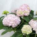 庭木花木の販売店【花育通販】紫陽花(アジサイ)苗木 霧島の恵(きりしまのめぐみ)を販売しております。