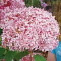 あじさい(アジサイ)「ピンクアナベル」の苗を販売【花育通販】