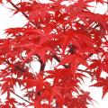 もみじ「出猩々」の苗木を販売【花育通販】モミジ(紅葉)の販売点