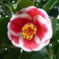 椿(つばき)の販売店【花育通販】玉肥前の苗を販売