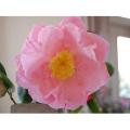 椿(つばき)の販売店【花育通販】ヘンリーEハンティントンの苗を販売