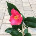 椿(つばき)の販売店【花育通販】赤初嵐の苗を販売