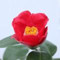 椿(つばき)の販売店【花育通販】壺中の夢の苗を販売