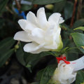 椿(ツバキ)の販売店【花育通販】白孔雀を販売
