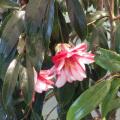 椿(つばき)の販売店【花育通販】孔雀椿の苗を販売