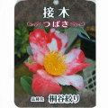 椿(つばき)の販売店【花育通販】桐谷絞りの苗を販売