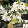 椿(つばき)の販売店【花育通販】ルチェンシスの苗を販売