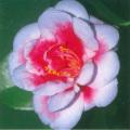 椿(つばき)の販売店【花育通販】コレッティの苗を販売