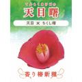椿(つばき)の販売店【花育通販】天目曙の苗を販売