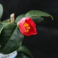 椿(つばき)の販売店【花育通販】紅三光の苗を販売