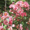 花木・庭木の販売店「花育通販」夏の定番花木 サルスベリ(夏祭り)の苗木