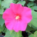 日本芙蓉(木フヨウ)赤花の苗木を販売【花育通販】