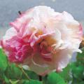 くすだま咲き酔芙蓉(スイフヨウ)の苗を販売【花育通販】