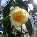 椿(つばき)の販売店【花育通販】金花茶の苗を販売