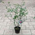 植木・花木の販売店 【花育通販】アメリカマユミの苗木を販売