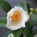 椿(つばき)の販売店【花育通販】白嶺の苗を販売