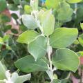 花木・植木の販売店【花育通販】アカシアの苗木 パールアカシアを販売