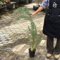 花木・植木の販売店【花育通販】アカシアの苗木 ブルーブッシュを販売
