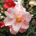 椿(つばき)の販売店【花育通販】春の台の苗を販売
