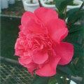 椿(つばき)の販売店【花育通販】デッビーの苗を販売