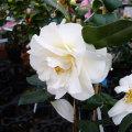 椿(つばき)の販売店【花育通販】彩斗の苗を販売