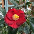 椿(つばき)の販売店【花育通販】耳納茜の苗を販売