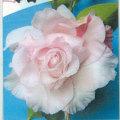 椿(つばき)の販売店【花育通販】エレンズベティーの苗を販売