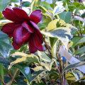 椿(つばき)の販売店【花育通販】斑入り黒椿の苗を販売