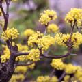 サンシュユの苗木を販売【花育通販】