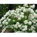 コデマリの苗木を販売【花育通販】