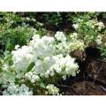 八重咲きコデマリの苗木を販売【花育通販】
