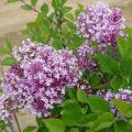 姫ライラック「パリビン」の苗木を販売【花育通販】