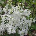 ライラック「ペドシーロス」の苗木を販売【花育通販】