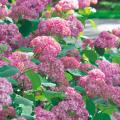 ピンクアナベル「ピンカーベル」の苗木を販売【花育通販】