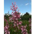 姫ライラック「ピンクパヒューム」の苗木を販売