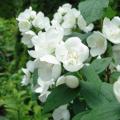 バイカウツギ「スノーファンタジー」の苗木を販売【花育通販】