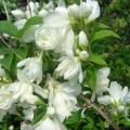 バイカウツギ「スノーベル」の苗木を販売【花育通販】