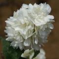 バイカウツギ「ミネソタスノーフレーク」の苗木を販売【花育通販】