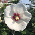 槿(ムクゲ)・日の丸の苗木を販売【花育通販】